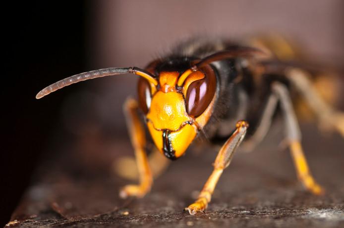 grote wesp hoornaar